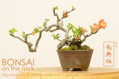 """ボケ「長寿梅」の盆栽 BOKE """"Choujubai"""", Japanese Quince bonsai 2016.4.10 撮影 bonsai on the rock @BASE bonsai on the rock @Zazzle"""