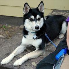 BALTO-Lap Dog!: Siberian Husky, Dog; Indianapolis, IN