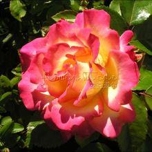 Sorvete fresco 20 Rainbow Roseira Sementes Da Planta De Jardim atraente impressionante(China (Mainland))