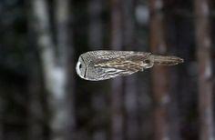 Owl mid-flight