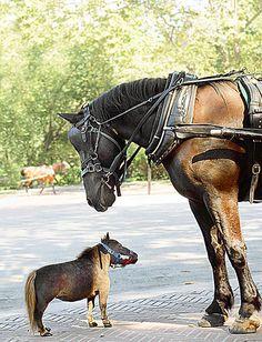 World's tiniest horse.