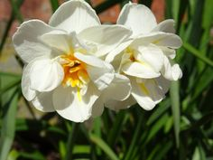 Spring daffodils in our wonderful gardens