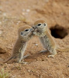 Baby Round-Tailed Ground Squirrels playing. AWWW too cute!
