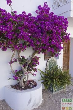 Comment planter et entretenir un Bougainvillier au dans le Sud, contre u… How to plant and maintain a bougainvillea in the South, against a facade for example? Comment Planter, Garden Care, Plantar, Front Yard Landscaping, Tropical Landscaping, Modern Landscaping, Landscaping Plants, Landscaping Ideas, Backyard Ideas