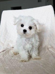 Teacup Maltese Puppy California Iheartteacups Teacup Puppies