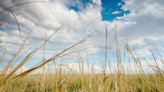 A linear push-in timelapse of a grassland landscape view, moving upwards through the grass with lots of cloud formations against a blue sky and Acaia trees in the far distance. Hd Video, Stock Footage, Distance, Grass, Africa, Clouds, Sky, Landscape, Blue