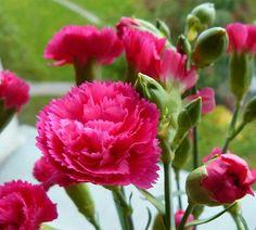 Resultado de imagem para hoa cẩm chướng