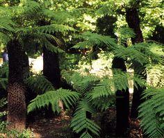 parquemarialuisa-encinarosa: Nuestro pasado remoto - Helechos arborescentes / D...