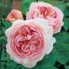 Gentle Hermione - David Austin Roses, order from creator or from Otto and Sons in Fillmore