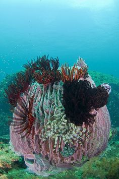 Barrel sponge with featherstars