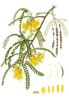 IŞIK GÜNER Botanical Art. Sophora cassioides. Chile.