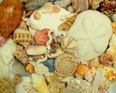 Seashell Collection - Millhill