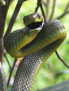 Threatened green cat snake