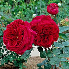 The rose has earned its place as America's favorite flower: http://www.bhg.com/gardening/design/styles/fragrant-plant-favorites/?socsrc=bhgpin032514rose&page=8