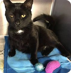 Voorhees, NJ - Domestic Shorthair. Meet Ralph, a cat for adoption. http://www.adoptapet.com/pet/15092651-voorhees-new-jersey-cat
