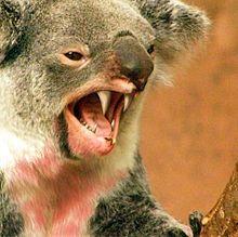 Drop bear - Wikipedia, the free encyclopedia