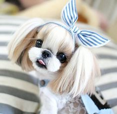 List of The Oldest Dog Breed in The World (COMPLETE) beste Bildideen über Shih Tzu Welpen – älteste Hunderassen Shih Tzu Hund, Perro Shih Tzu, Shih Tzu Puppy, Shih Tzus, Cute Little Animals, Cute Funny Animals, Little Dogs, Cute Baby Dogs, Cute Dogs And Puppies