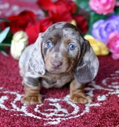 Mgm Dachshunds Past Dachshund Puppies For Sale