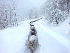 sheep snow trail