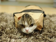 Maru attempting to collect on a life insurance policy. Genius kitty!