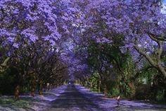 Harare Jacaranda
