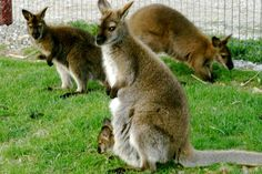Wallaby Family at Hansen's Farm Fresh Dairy / Hudson, Iowa