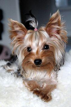 yorkshire terrier, yorkie #YorkshireTerrier