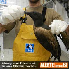 Alerte niveau 2 - Au 10 février, la LPO dresse un premier bilan global et estime à plus de 5000 oiseaux touchés : environ 1000 oiseaux recensés en Charente-Maritime, plus de 600 en Vendée, 800 en Loire-Atlantique...  Plus d'infos : http://www.lpo.fr/actualite/des-dizaines-doiseaux-marins-sechouent-sur-le-littoral-depuis-plusieurs-jours  Macareux moine (Fratercula arctica) © Olivier Laluque - LPO 17