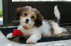 cavashons | we have cavachon puppies available from a responsible breeder