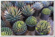 at the Mariscal Cactus & Succulents in Desert Hot Springs - Agave coloratura (middle rows)
