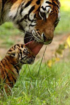 Et voilà maintenant le plus grand des félins. Le tigre de Sibérie peut mesurer 1m10 au garrot et peser 300 kilos. On ne s'y frotte pas.