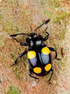 Fungus Beetle | Flickr - Photo Sharing!