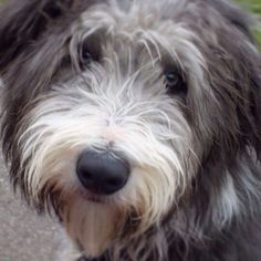 Bearded Collie dog art portraits, photographs, information and just plain fun. Also see how artist Kline draws his dog art from only words at drawDOGS.com #drawDOGS http://drawdogs.com/product/dog-art/bearded-collie-dog-portrait-by-stephen-kline/