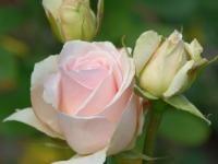 Zeeuwse Rozentuin   rozenkwekerij   landschapstuin   clematissen   te koop   leuk dagje weg   Zeeland   Noord Beveland   Cats     Kwekerij en Landschapstuinen