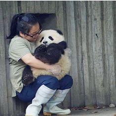 Giant Panda Qing Xiao with Nanny Mei Funny Animal Pictures, Cute Funny Animals, Cute Baby Animals, Animals And Pets, Panda Bebe, Cute Panda, Panda Panda, Red Panda, Animal Hugs
