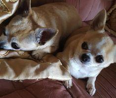 Innostu-Onnistut: Positiivinen Nainen & Chihuahuat parhaat kaverukse... Corgi, Animals, Animales, Animaux, Corgis, Animal, Animais