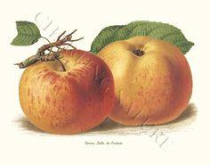'Apples Pomme Belle de Pontoise' giclee print via Charting Nature.