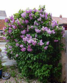 Margarets front garden Lilac bushes in full bloom