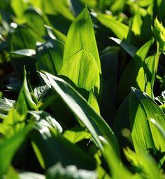 Na cholesterol divokým cesnakom Cholesterol, Plant Leaves, Plants, Flora, Plant, Planting
