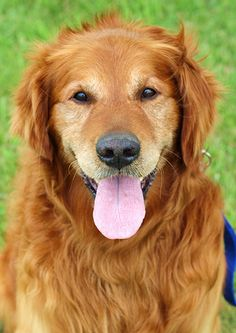 This is Troy - a senior. He was kept as an outside dog. He gets along with other dogs, not cat tested, no kids under age 10, is neutered, current on vaccinations & walks well on leash. He has good energy & loves to retrieve. Troy is looking for a forever home & is at Golden Retriever Rescue Resource, Ohio