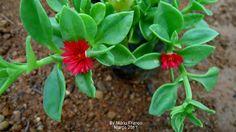 ROSINHA-DO-SOL - ( Aptenia cordifolia )