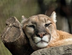 Sleepy mountain lion is sleepy