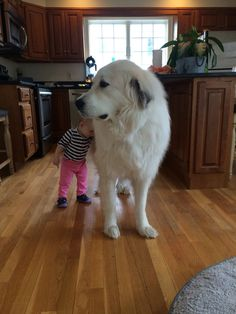 Great Pyrenees... BIG DOG!