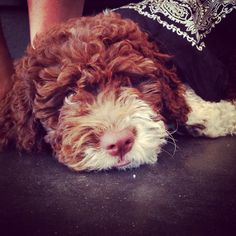 My lagotto Puppy Nanna