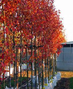 Amelanchier arborea Robin Hill, autumn colour