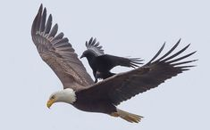 An amateur photographer has the photos of a lifetime as a crow landed on the back of an eagle while in mid-flight. The crow landed like a boss and the eagle did. The Crow, Animals And Pets, Funny Animals, Cute Animals, Strange Animals, Funny Birds, Funny Pets, Baby Animals, Aigle Animal