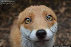 It's clear after one look at those big, adorable eyes: Pudding the fox is utterly in love with her human caretakers. The red fox was born in the wild, but she's since found a new home. Abandoned by her mother in Yorkshire, England, she was taken in three years ago by the National Fox Welfare Society, a volunteer organization dedicated to rescuing injured foxes.