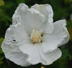 """Rose of Sharon Diana Althea. Hibiscus syriacus 'Diana'.  Hardy deciduous shrub bearing pure white 4"""" flowers all summer.  Little or no seed is set, which means continuous production of flowers an no stray seedlings.  Unlike other hibiscus, blooms stay open more than one day."""