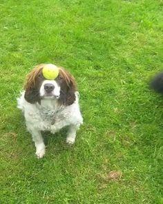 Pandemic Day Number 145-ish #PetCBD #PetHealth #DogHealth www.EmishaWellness.com Happy Animals, Funny Animals, Cute Animals, Animals Dog, Dog Fails, Funny Fails, Dog Minding, St Bernard Dogs, Dog Items