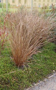 AuBergewohnlich Neuseeland Segge U0027Bronze Formu0027 (Carex Comans)